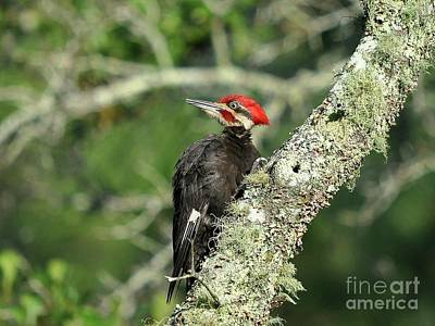 Pileated Woodpecker Photograph - Pileated Perch by Al Powell Photography USA