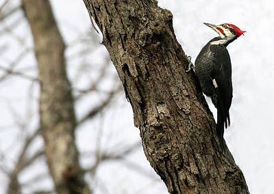Photograph - Pileated Pose by Art Cole