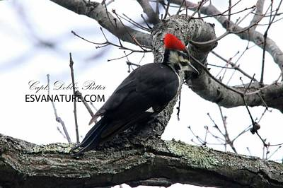 Photograph - Pileated Woodpecker 0781 by Captain Debbie Ritter