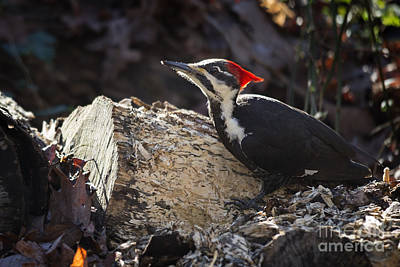 Photograph - Pileated Woodpecker 1 by Jemmy Archer