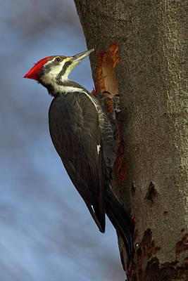 Photograph - Pileated Woodpecker 1 by Timothy McIntyre
