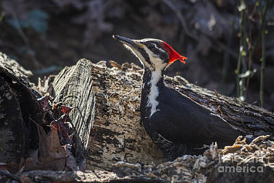 Photograph - Pileated Woodpecker 2 by Jemmy Archer