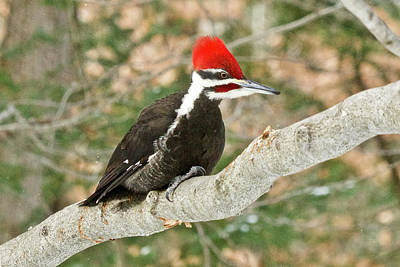 Photograph - Pileated Woodpecker 6073 by Michael Peychich