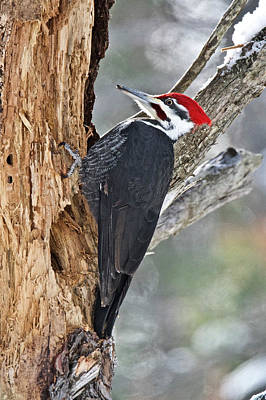 Photograph - Pileated Woodpecker 6327 by Michael Peychich