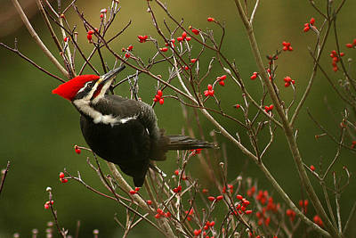 Woodpecker Photograph - Pileated Woodpecker by Alan Lenk