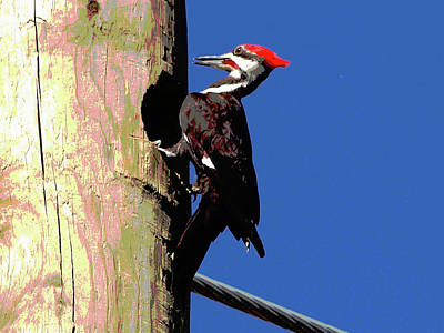 Pileated Woodpecker Photograph - Pileated Woodpecker Art by Phil Stone