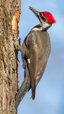 Photograph - Pileated Woodpecker by Bill Wakeley