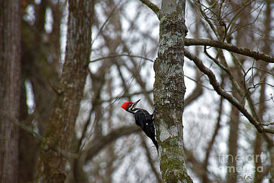Photograph - Pileated Woodpecker by David Arment