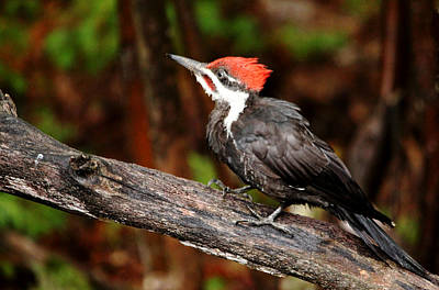 Photograph - Pileated Woodpecker by Debbie Oppermann