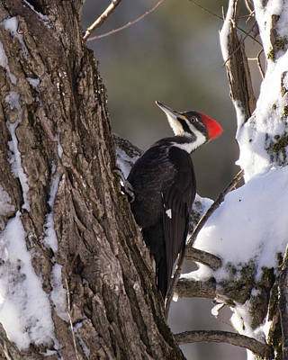 Namaste With Pixels - Pileated Woodpecker by Deborah Ritch