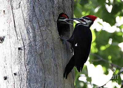 Photograph - Pileated Woodpecker by Elizabeth Winter