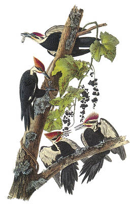 Woodpecker Painting - Pileated Woodpecker by John James Audubon