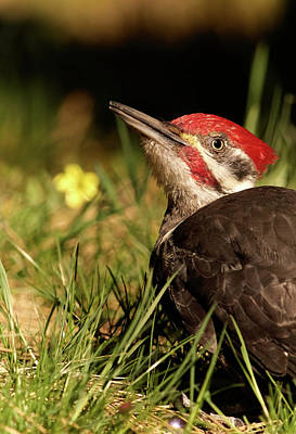 Photograph - Pileated Woodpecker by Loni Collins