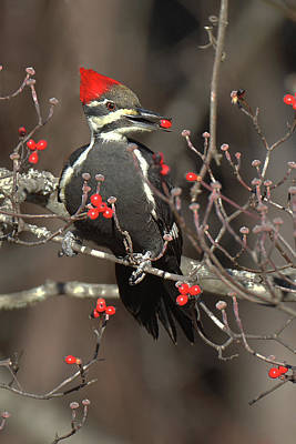 Photograph - Pileated Woodpecker Lunch by Alan Lenk