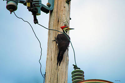 Photograph - Pileated Woodpecker On Pole by Ken Figurski