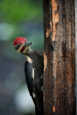 Photograph - Pileated Woodpecker On Post Looking Around by Dan Friend