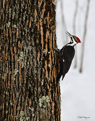 Pileated Woodpecker Art Print by Skip Tribby