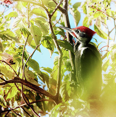 Pileated Woodpecker Photograph - Pileated Woodpecker by Susan Capuano