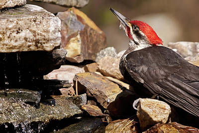 Photograph - Pileated Woodpecker2 by Loni Collins