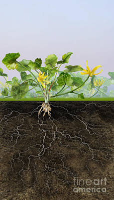 Soil Drawing - Pilewort Or Lesser Celandine Ranunculus Ficaria - Root System -  by Urft Valley Art