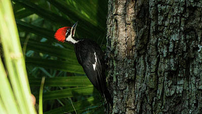 Photograph - Piliated Woodpecker Blue Spring State Park Florida by Lawrence S Richardson Jr