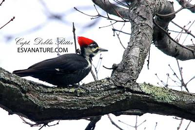 Photograph - Pilieated Woodpecker 0780 by Captain Debbie Ritter