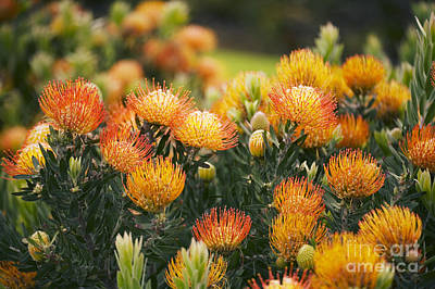 Pin Cushion Protea Bush Art Print