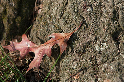 Photograph - Pin Oak Leaf On Bark by Brian Green