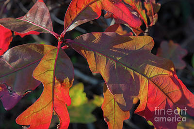 Photograph - Pin Oak Leaves by Chris Scroggins
