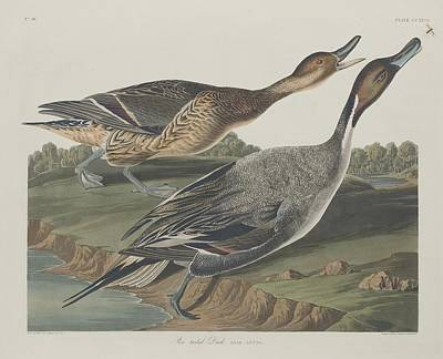 Swan Drawing - Pin-tailed Duck by Dreyer Wildlife Print Collections