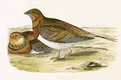 Pheasant Drawing - Pin Tailed Sand Grouse by English School