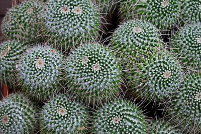 Photograph - Pincushion Cactus by Michiale Schneider