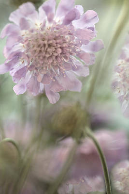 Pincushion Flower Art Print by Bonnie Bruno