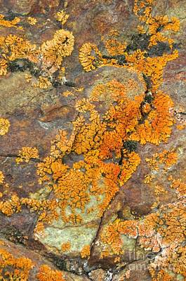Photograph - Pincushion Lichen by Frank Townsley