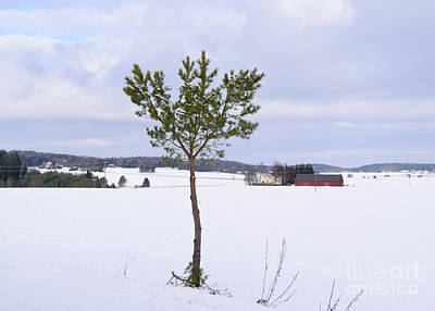 Barns In Snow Photograph - Pine And Barn by Esko Lindell