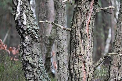 Photograph - Pine And Birch by Dariusz Gudowicz