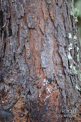 Photograph - Pine Bark by Maria Urso