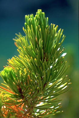 Photograph - Pine Bough by John Farley