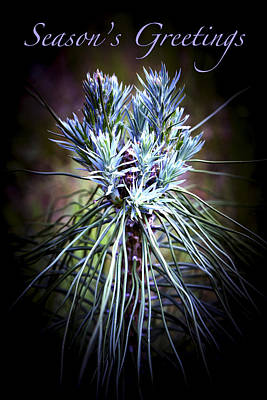 Photograph - Pine Bouquet - Season's Greetings by Patricia Sanders