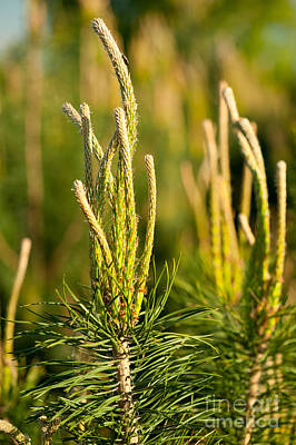Burgeon Photograph - Pine Candles Tip Shoots Conifer by Arletta Cwalina