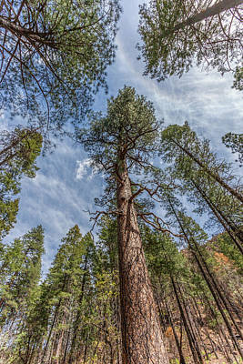 Photograph - Pine Cathedral On The West Fork by Lon Dittrick
