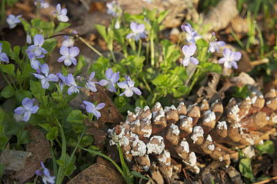Pine Cone And Spring Phlox Art Print by Michael Peychich