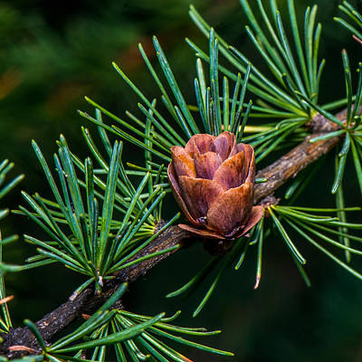 Fir Trees Photograph - Pine Cone Close Up by Paul Freidlund