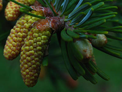 Photograph - Pine Cone by Juergen Roth