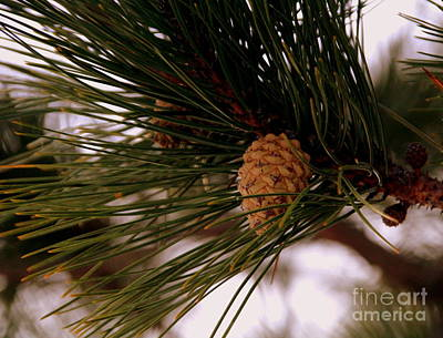 Photograph - Pine Cone by Lennie Malvone