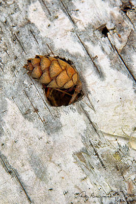 Dan Beauvais Royalty-Free and Rights-Managed Images - Pine Cone on Birch Bark 8021 by Dan Beauvais