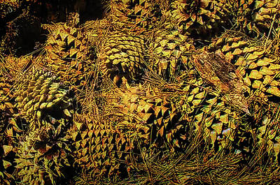 Photograph - Pine Cone Pile by Joseph Hollingsworth