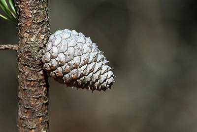Photograph - Pine Cone Rocky Point New York by Bob Savage