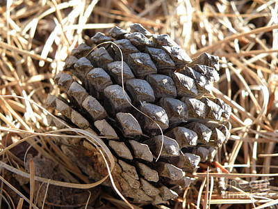 Pine Cone Study 4 Original by Megan Brandl