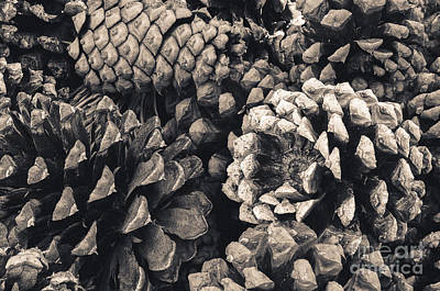 Fir Trees Photograph - Pine Cone Study by The Forests Edge Photography - Diane Sandoval